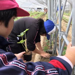 真紅の美鈴定植作業・ガーデンレタス種まき他