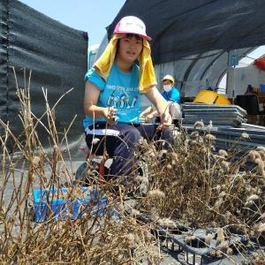 クリムゾンクローバーの種取り、地域貢献型農福連携請負作業など