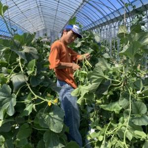 メロンの剪定作業、地域貢献型農福・地福連携請負作業など