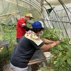 イチゴ切り離し、地域貢献型農福連携請負作業など