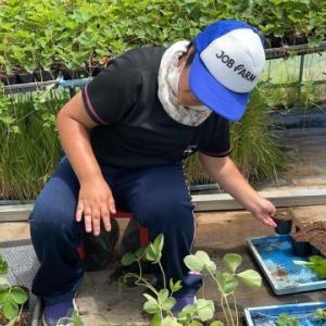 イチゴランナー受け、地域貢献型農福・地福連携請負作業