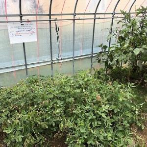 落花生と、温室で育てた安納芋を掘り起こしました。