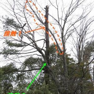 倒れかけの松の木・・倒してやりました!