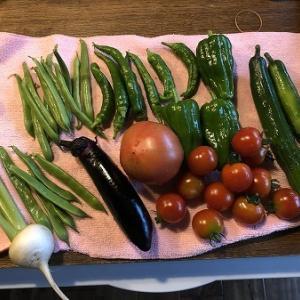 順調な野菜の収穫。