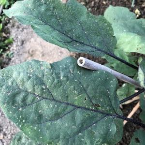 野菜作り・・ナスの害虫退治。