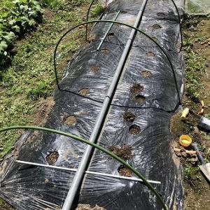 野菜作り・・大根の種まきをしました。