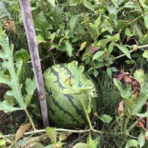 野菜作り・・小玉スイカ初収穫しました。