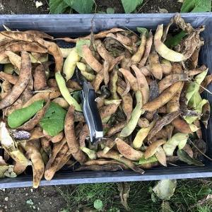 野菜作り・・花豆の収穫、長雨はご用心。