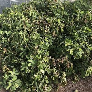 野菜作り・・落花生の収穫。
