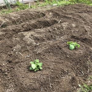 野菜作り・・ヤーコン。