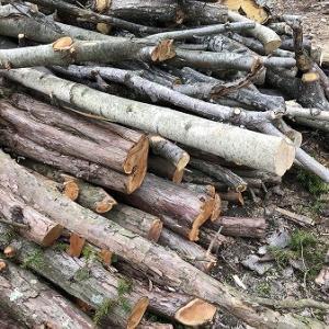 薪作り・・針葉樹の生木丸太の玉切り。