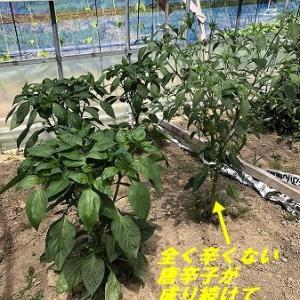 野菜作り・・困窮のトウガラシ栽培。