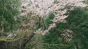 桜の季節です!!
