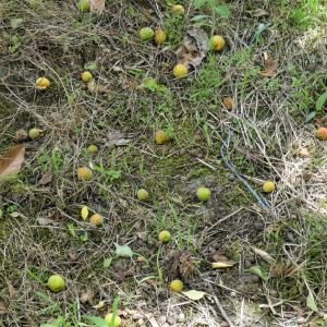 沢山の梅が採れました
