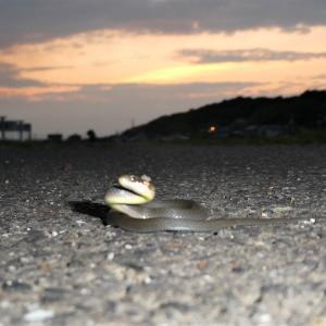 夜の散歩は危険がいっぱい(爬虫類の嫌いな方は見ないで)