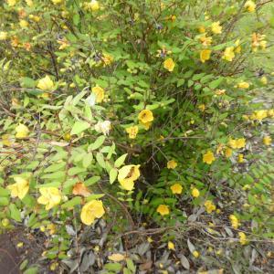 キンシバイに集まる沢山のミツバチ