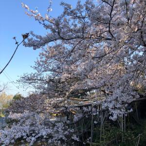 桜を見て涙