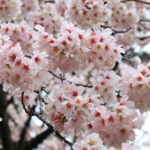 満開の桜。。。
