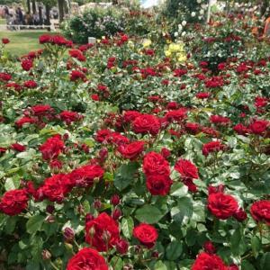 薔薇に癒される。。。in 伊奈バラ園(1)