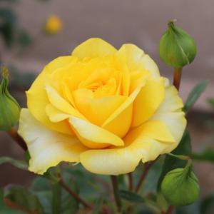 薔薇に癒される。。。in 伊奈バラ園(2)
