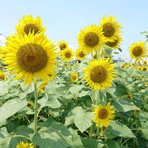 今夏も蓮田ひまわり畑へ