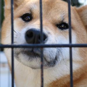 柴犬キレイな女の子。「遺棄か・脱走か」