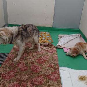 年老いたハスキー♂ニコラスと柴♂まる ~11/11茨城センター収容犬たち