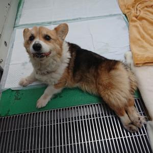 助けてください。茨城センター ~放棄された後肢麻痺のコーギー♀13歳ユキちゃん
