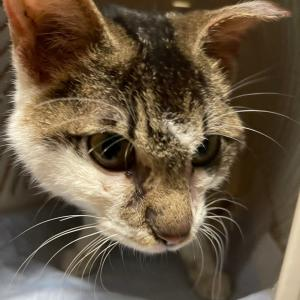 10/25 広範囲の皮膚炎と削痩で負傷猫の保護と、遠く神栖市から来た子猫