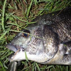 9月7日朝 ひさびさの魚!黒鯛1本ゲット!の巻