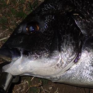 11月22日夕 カーラでトシナシ、、黒鯛1本ゲット!の巻