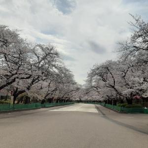 [皮肉だな。花見自粛で、初めて上野公園の桜が綺麗に見えた。」S6799