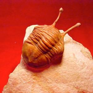 三葉虫食堂/亡き王蟲のための三葉虫丼 ── 順調長調に弱っていくためのガラナ汁及び三葉虫丼の概略とベラスケスのゴンベッサ・コンベルソ問題