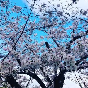 近場の桜トンネルを散策