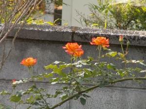 サハラ、私の好きな薔薇