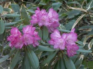 那須の峯桜は咲き始め