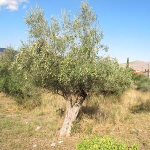 ギリシャはオリーブの収穫期になったらしい。