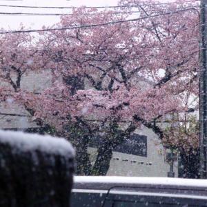 サクラに雪