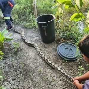 全長3メートルのニシキヘビ捕獲 バンコク南郊の民家で