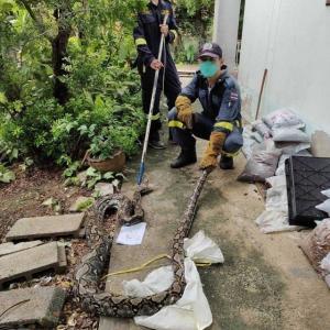 バンコクでニシキヘビ捕獲相次ぐ プロムポン駅近くで3.5メートル