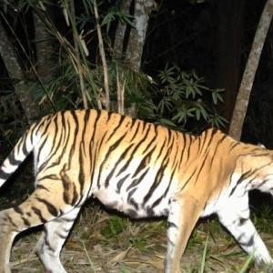 タイ当局「国内に野生のトラ177頭生息」