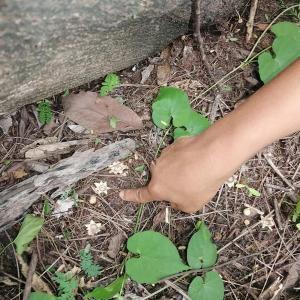 珍しいキノコ「ヒメツチグリ」がペチャブン県で見つかる