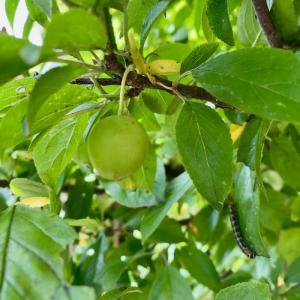 似たような緑の実