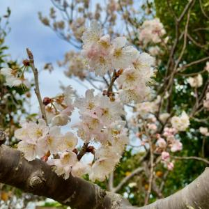 桜桃の開花