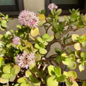 フチベニケイ(金のなる木)の花が咲きました