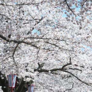 盛岡周辺の桜