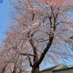過去最速、桜の開花宣言!