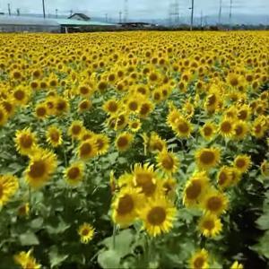 8月8日(日) ヒマワリ畑へ