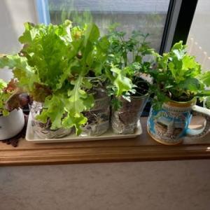 室内でレタス栽培