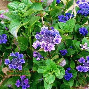 あじさい♪紫陽花♪青紫系♪鮮やかな♪NO2 千葉市より
